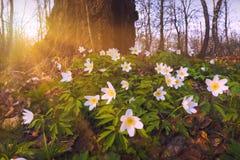 Adonis florece en una luz caliente de la puesta del sol Fotos de archivo