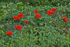 Adonis floreció en un claro del bosque Fotografía de archivo