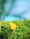 Adonis flower close-up Stock Photo