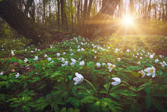 Adonis flowers in a light of sunset Stock Images