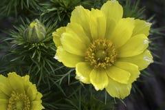Adonis-Frühling, Goricvet, Starodubka, Frühling blüht Stockbilder