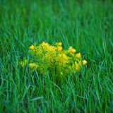 Adonis-Frühlingsblume Stockfoto