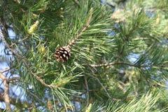adonis perennial Planta medicinal Terra comum em Europa e em regiões não-quentes de Ásia fotografia de stock