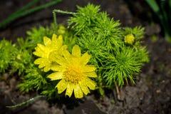Adonis que florece en el jardín Imágenes de archivo libres de regalías