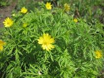 Adonis-selvagem com flores amarelas feche acima imagem de stock