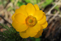 Adonis spring bloom in the Altai forest Royalty Free Stock Photos