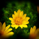 Adonis spring flower Stock Photos