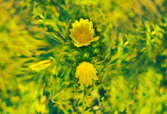 Adonis spring flowers abstract blur Royalty Free Stock Images