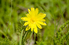 Adonis spring a herb blossoms Royalty Free Stock Photography