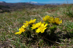 The adonis in spring Stock Photography