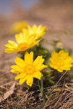 Adonis vernalis Stock Photography