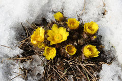 Adonis vernalis Royalty Free Stock Photos