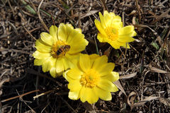Adonis vernalis Royalty Free Stock Photo