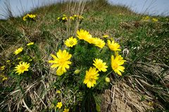 Adonis vernalis Stock Photos