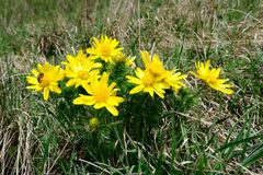Adonis vernalis Royalty Free Stock Photography