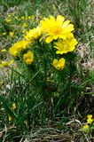 Adonis vernalis Royalty Free Stock Images
