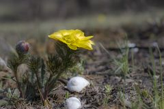Adonis vernalis blooms in the steppe stock photo