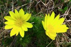 Adonis-vernalis Blumen Lizenzfreies Stockbild