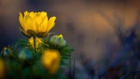 Adonis vernalis. False Hellebore Stock Images
