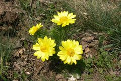 Yellow pheasant`s eye is a lovely wild flower. Adonis Vernalis is its Latin name stock photography