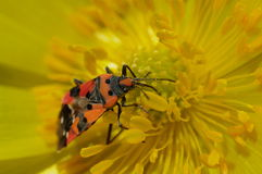 Spring background. Red bug on yellow flower. Spring background. Red bug. Pyrrhocoris apterus on a beautiful yellow flower Stock Image