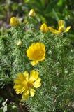 Adonis-vernalis wächst im wilden Lizenzfreies Stockfoto