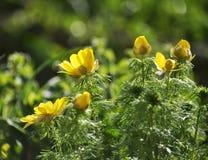 Adonis-vernalis wächst im wilden Stockfotografie