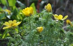 Adonis-vernalis wächst im wilden Stockbild