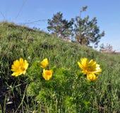 Adonis-vernalis wächst im wilden Lizenzfreie Stockbilder