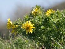Adonis-vernalis wächst im wilden Stockfoto