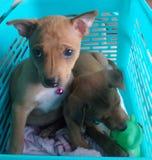 Adopción del perrito perdido Imagen de archivo