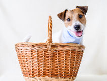 Adopt a dog. Jack Russell Terrier inside a basket as a present Royalty Free Stock Photography