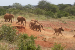 Adopted Baby African Elephants at the David Sheldrick Wildlife Trust in Tsavo national Park, Kenya Stock Images