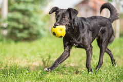 Adopted Black Mixed breed dog playing with football ball Stock Photo