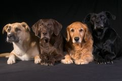 Adopted Diversity Dog Family. Assertive relationship-comp portrait of a family of four adopted mixed breed dogs Royalty Free Stock Image