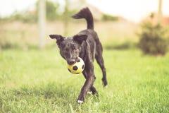 Adopted mischte Zuchthundedas spielen Stockfoto