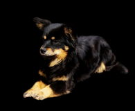 Adopted pariah dog isolated on black. Background Royalty Free Stock Photos