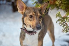 Adopted pretty mongrel previous stray dog stands alone at the snow background, with brown leather collar, attentive look. Outdoor, frozen day, close up royalty free stock images