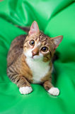Adopted stray cat Stock Photography