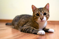 Adopted stray cat Royalty Free Stock Image