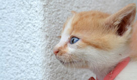 Adopted stray kitten Royalty Free Stock Image