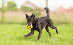Adoptowanego mieszanego trakenu psi bawić się z piłką Fotografia Royalty Free