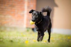 Adoptowany czerń mieszam trakenu psi bawić się Fotografia Stock