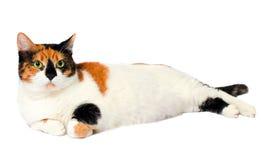 Adoptowany przybłąkany kot Zdjęcia Stock