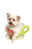 Adorabel puppy in a tea cup Royalty Free Stock Image