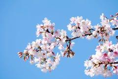 Adorabile impallidisca sakura rosa sul fondo del cielo blu immagini stock libere da diritti