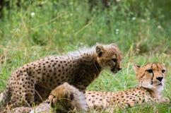 adorabile sveglio del gatto del bambino della famiglia del ghepardo Immagini Stock Libere da Diritti