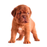 Adorable 1 month old puppy Stock Image