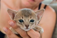 Adorable Abyssinian little kitten on a hands.  Royalty Free Stock Photography