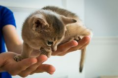 Adorable Abyssinian little kitten on a hands.  Stock Image